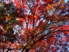 autumntrees005