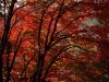 autumntrees039