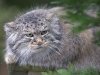 big_cats_wallpaper_001
