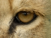 big_cats_wallpaper_002