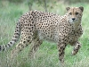 big_cats_wallpaper_003
