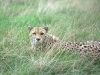 big_cats_wallpaper_004