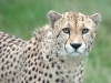 big_cats_wallpaper_005