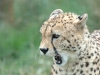 big_cats_wallpaper_006
