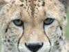 big_cats_wallpaper_007