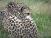 big_cats_wallpaper_008