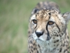 big_cats_wallpaper_009