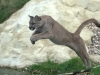 big_cats_wallpaper_010