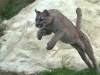 big_cats_wallpaper_013