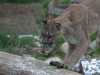 big_cats_wallpaper_015