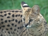 big_cats_wallpaper_019