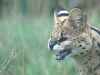 big_cats_wallpaper_022