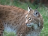 big_cats_wallpaper_023