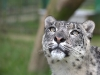 big_cats_wallpaper_025
