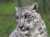 big_cats_wallpaper_026