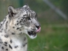 big_cats_wallpaper_027
