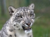 big_cats_wallpaper_029