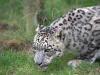 big_cats_wallpaper_030