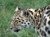 big_cats_wallpaper_031