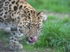 big_cats_wallpaper_033