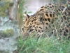 big_cats_wallpaper_034