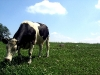 cow_wallpaper_001