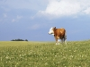 cow_wallpaper_002