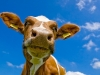 cow_wallpaper_005
