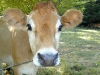 cow_wallpaper_011