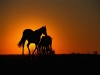 Horses-silhouettted