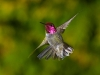 hummingbird_wallpaper_001