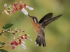 hummingbird_wallpaper_004