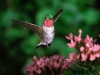 hummingbird_wallpaper_005
