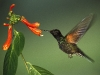 hummingbird_wallpaper_006