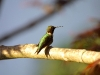 hummingbird_wallpaper_008