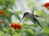 hummingbird_wallpaper_009