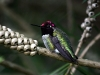 hummingbird_wallpaper_010