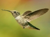 hummingbird_wallpaper_011