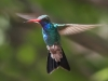 hummingbird_wallpaper_012