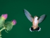 hummingbird_wallpaper_015