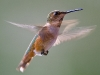 hummingbird_wallpaper_017