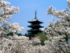 cherry_blossoms__ninna-ji_temple_grounds__kyoto__japan