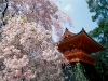 cherry_blossoms__ninnaji_temple__kyoto__japan