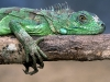 lizard_wallpaper_001