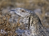 lizard_wallpaper_006
