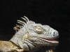 lizard_wallpaper_007