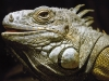 lizard_wallpaper_008
