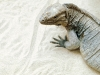lizard_wallpaper_009