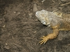 lizard_wallpaper_010
