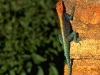 lizard_wallpaper_012